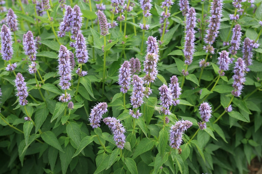 giant hyssop blue fortune - photo #15