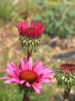 Echinacea purpurea � Fatal Attraction � �